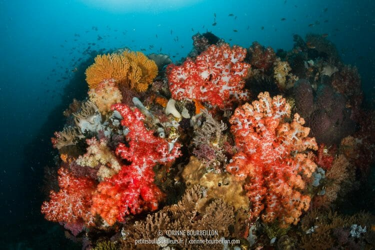 Les couleurs éclatantes des coraux mous (parfois appelés alcyonaires) au site Entre la Mer 2. (Kampanar, Centre-Sulawesi, Indonésie, juillet 2017)