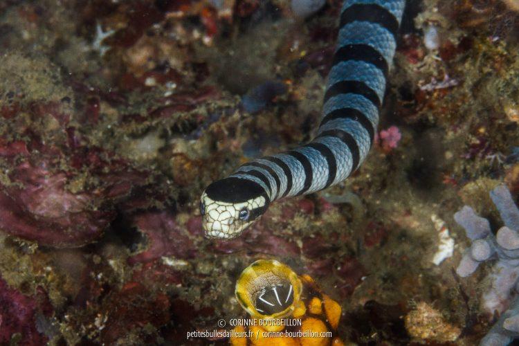"Serpent ""tricot rayé"". Site : Colina Slope 2, Kampanar. (Centre-Sulawesi, Indonésie, juillet 2017)"