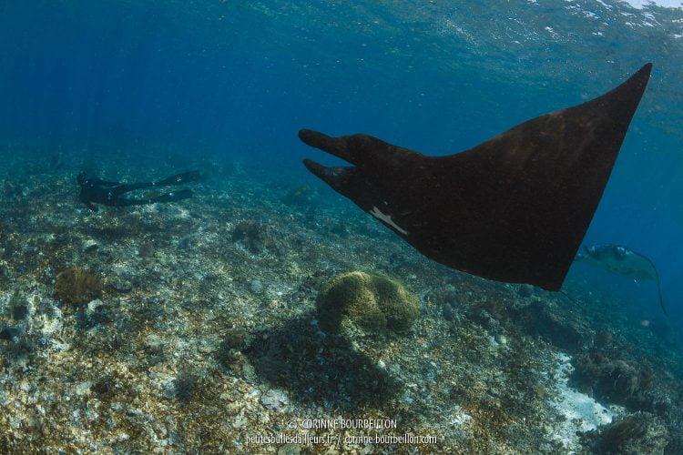 Une manta presque entièrement noire file dans le courant. (Komodo, Indonésie, juillet 2016)
