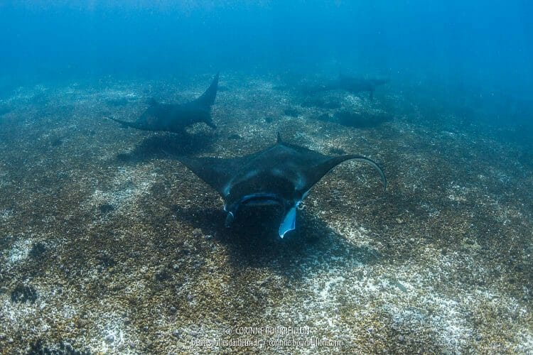 A new squadron of manta rays! (Komodo, Indonesia, July 2016)
