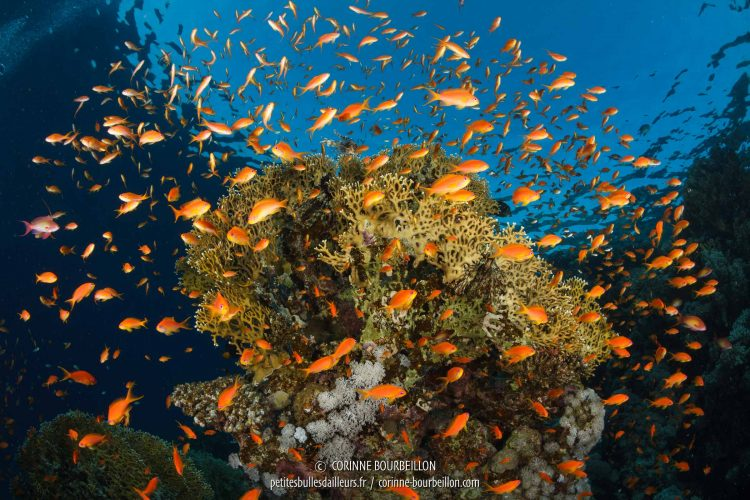"Anthias explosion around a ""grove"" of coral. (Red Sea, Egypt, November 2017)"