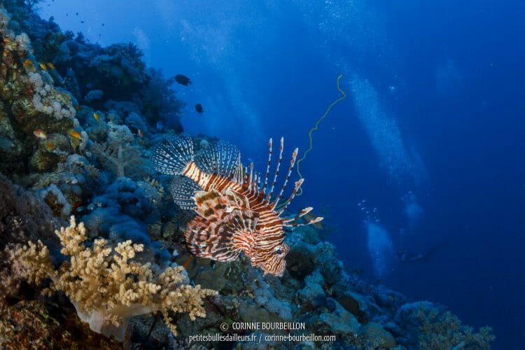 "A lionfish or ""lionfish"" among anglophones. (Red Sea, Egypt, November 2017)"