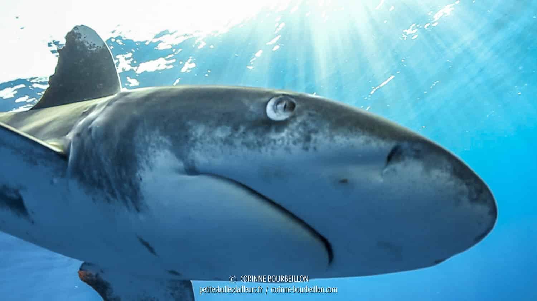 Le requin longimane est venu tout près, se coller à mon objectif ! (Mer Rouge, Égypte, novembre 2017)
