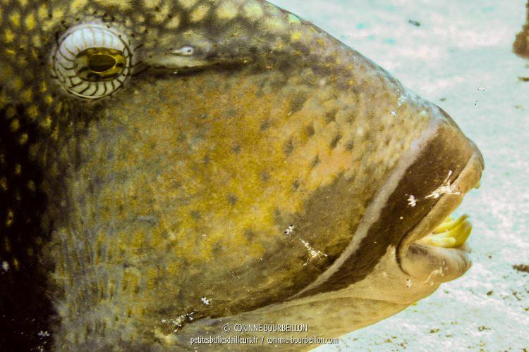 Le baliste laisse les petites crevettes nettoyeuses se poser sur sa gueule aux dents acérées. (Malaisie, Perhentian Islands, juillet 2006)