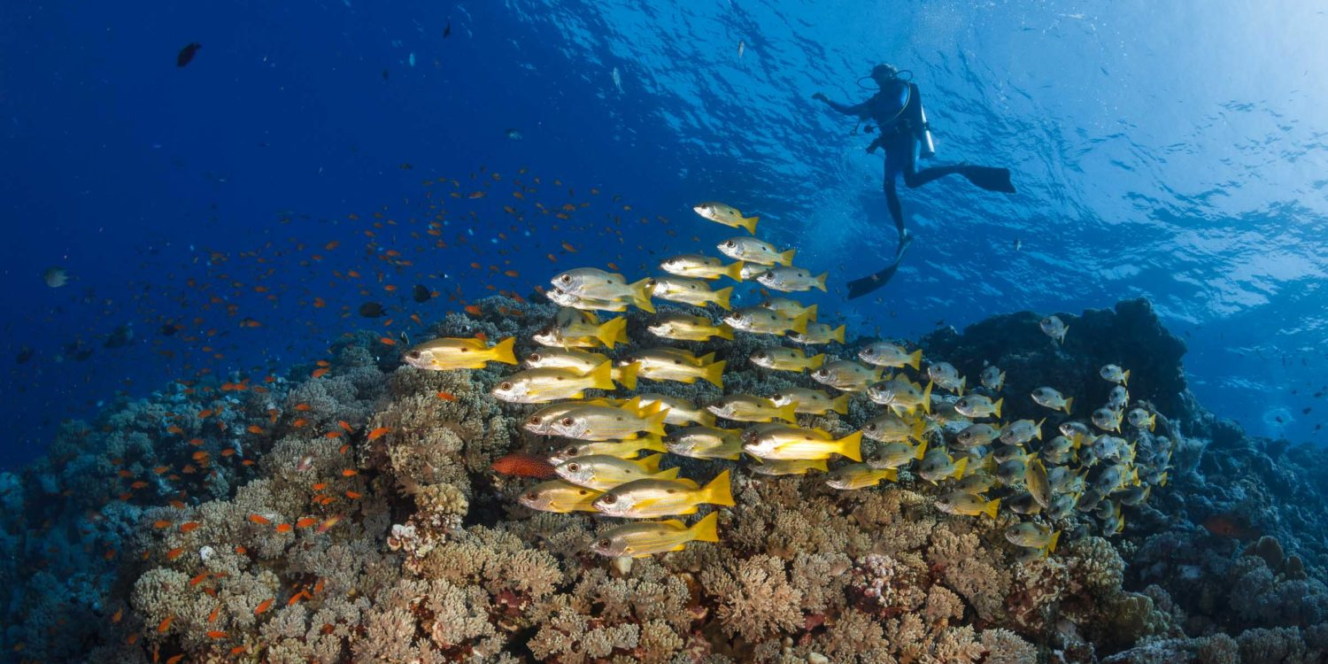 A school of yellow-tailed snappers patrols under the fins of the divers. (Habili Gafar, Red Sea, Egypt, November 2017)