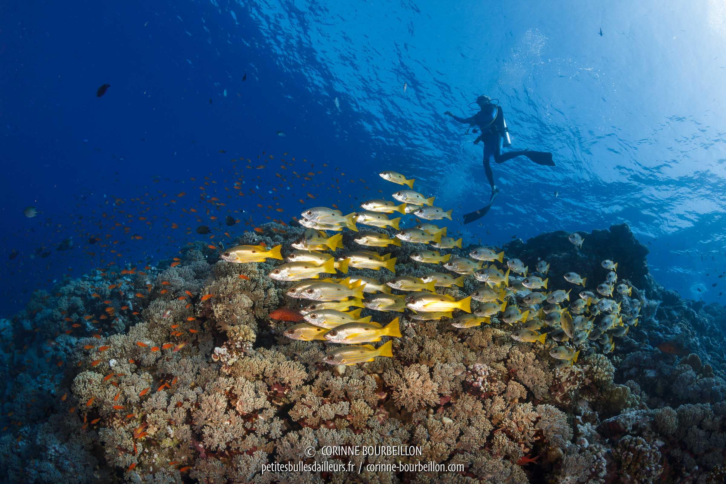 Un banc de vivaneaux à queue jaune patrouille sous les palmes des plongeurs. (Habili Gafar, Mer Rouge, Égypte, novembre 2017)