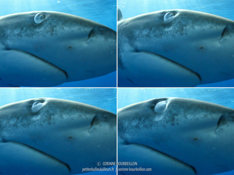Screenshots taken from the video. The eyelid is distinctly closed. (Red Sea, Egypt, November 2017)