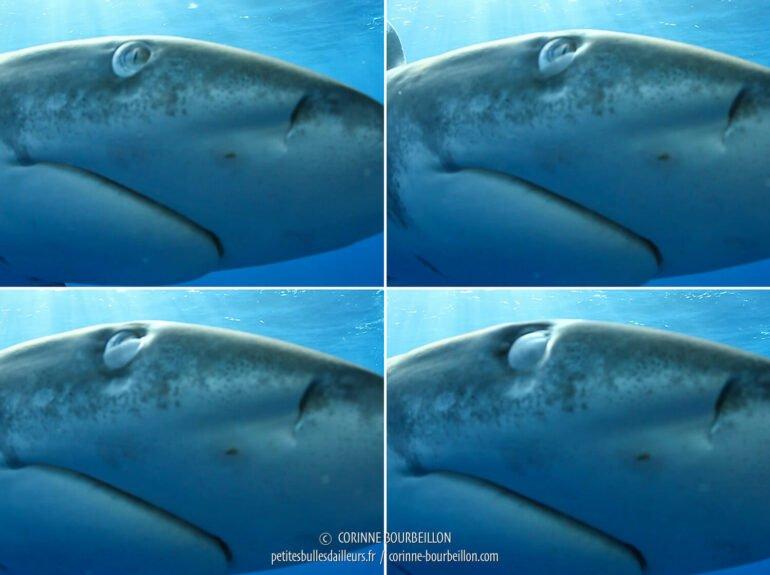 Captures d'écran extraites de la vidéo. On voit distinctement la paupière se refermer. (Mer Rouge, Égypte, novembre 2017)