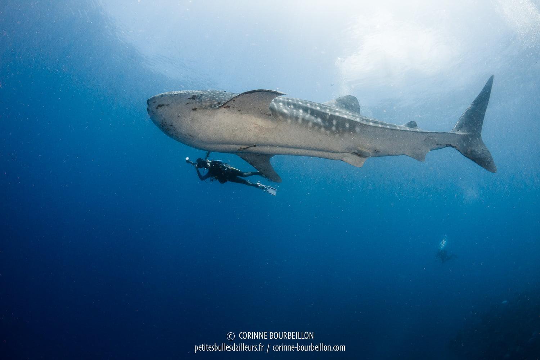 Le requin baleine nage tranquillement, ici à une dizaine de mètres de la surface. (Balicasag, Panglao, Bohol, Philippines, mai 2018)