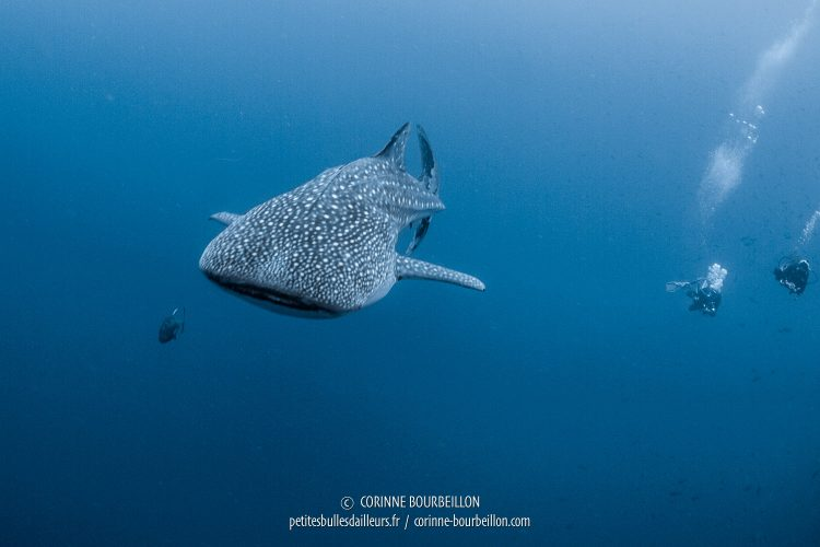The whale shark is swimming too fast for divers ... (Tubbataha Reefs, Philippines, May 2018)