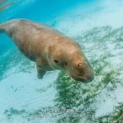 The dugong swims in shallow waters, its main activity being to feed on the seagrass beds of the bay. (Alor, Indonesia, July 2018)