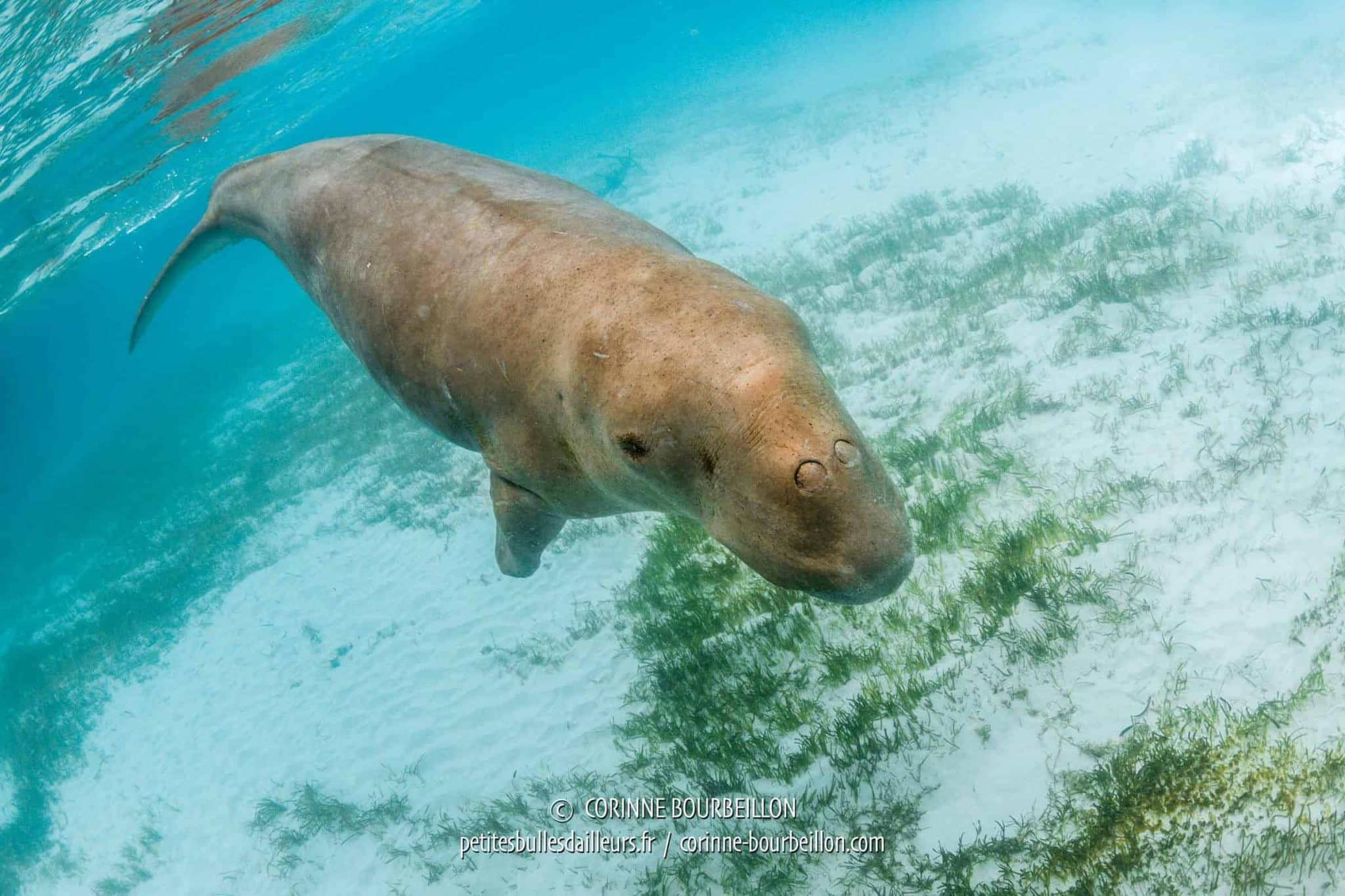 The dugong swims in shallow water, its main activity being to feed on the meadows of the bay. (Alor, Indonesia, July 2018)