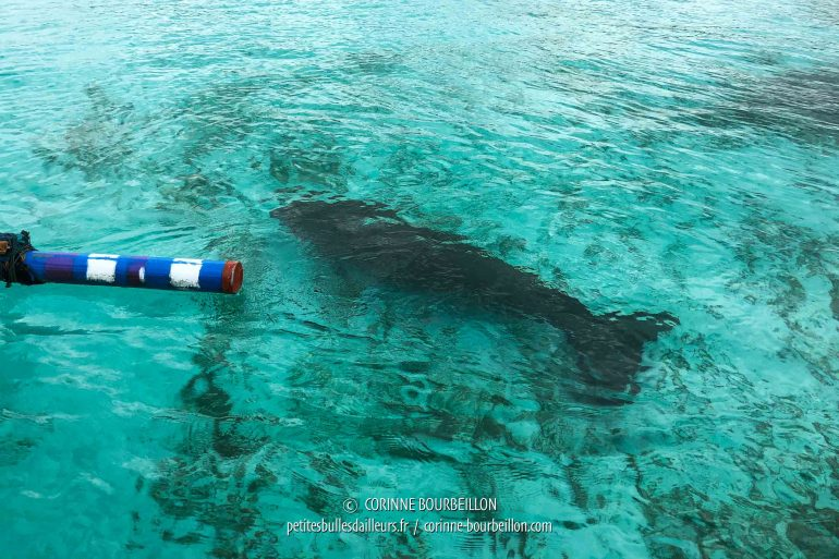 A shadow is coming ... A siren? No, a dugong! (Alor, Indonesia, July 2018)