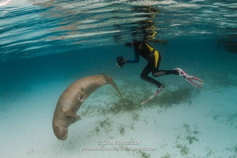 No doubt, this dugong is a male ... (Alor, Indonesia, July 2018)