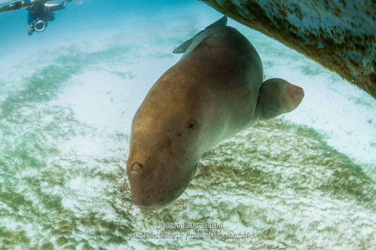 The dugong does not hesitate to look at me very closely ... (Alor, Indonesia, July 2018)