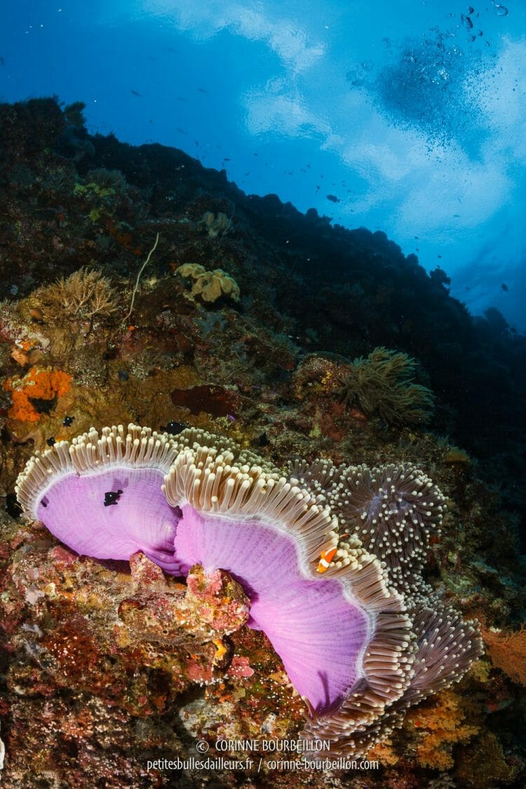 The current raises the pink skirt of an anemone, where lives a family of clown fish ... (Tubbataha, Philippines, May 2018)