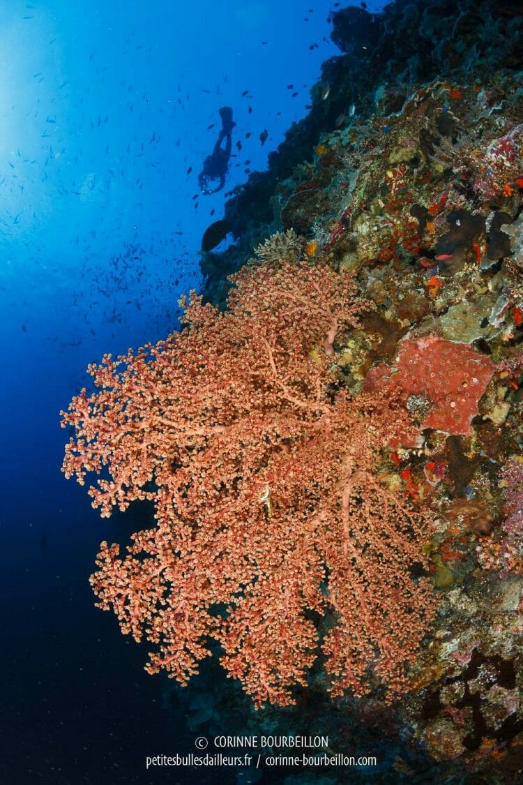 Giant sea fans cling to the overhang of the falling ... (Tubbataha, Philippines, May 2018)