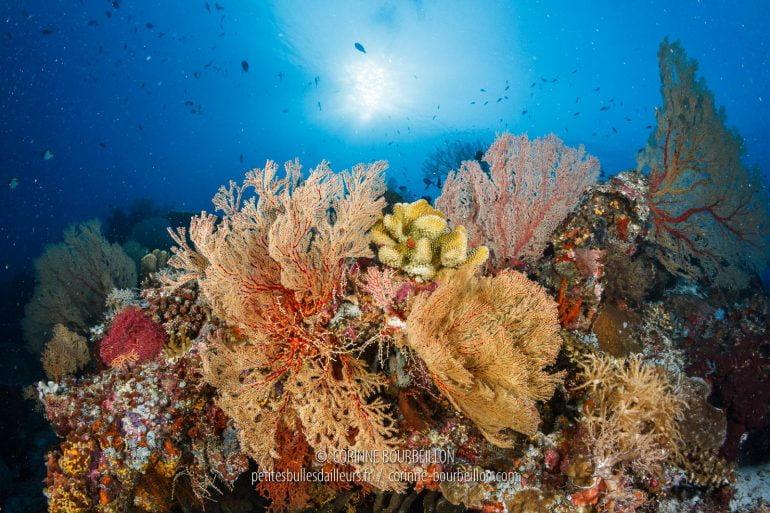 Des récifs coralliens en pleine forme... (Tubbataha, Philippines, mai 2018)