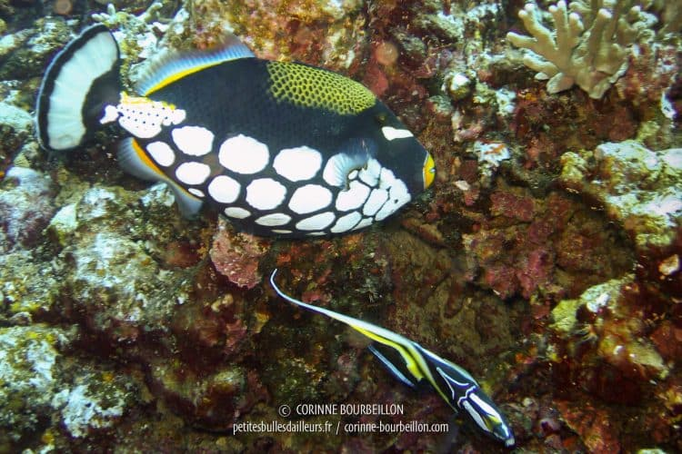 Clown triggerfish. (Thailand, February 2006)