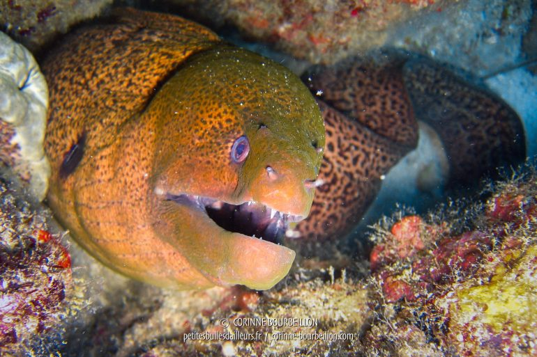 A moray eel with a sinister look. (Redang, Malaysia, July 2006)