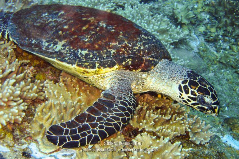 Coucou, la tortue ! (Redang, Malaisie, juillet 2006)