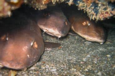 Des bébés requins apeurés par la lumière de mon flash. (Îles Perhentian, Malaisie, juillet 2006)