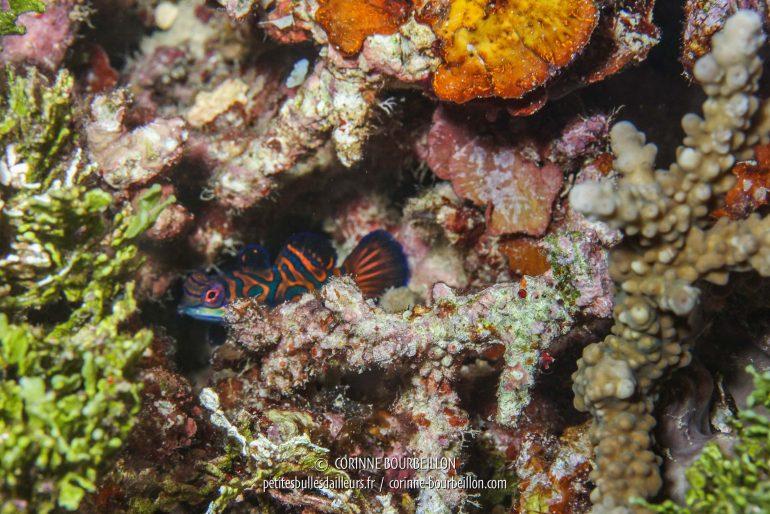 Le mandarin est un tout petit poisson et un grand timide, qui préfère rester caché dans les entrelacs des débris coralliens. (Pulau Bangka, Sulawesi, Indonésie, juillet 2010)
