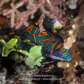 Il faut déclencher dès qu'on aperçoit sa robe flamboyante aux motifs orange et bleus, car la seconde d'après, il a disparu dans les profondeurs du substrat corallien . (Pulau Bangka, Sulawesi, Indonésie, juillet 2010)