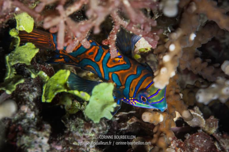 We must start when we see his flamboyant dress orange and blue patterns, because the second after, it has disappeared into the depths of the coral substrate. (Pulau Bangka, Sulawesi, Indonesia, July 2010)