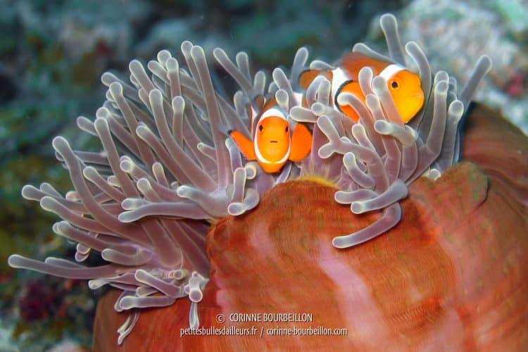 Nemo et son papa vous disent bonjour… (Perhentian Kecil, Malaisie, juillet 2006)