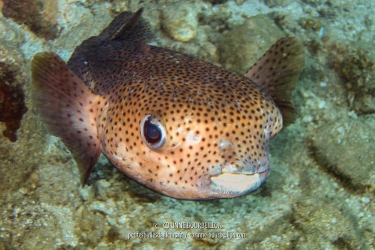 A porcupine fish with a rounded eye all amazed. (Perhentian Islands, Malaysia, July 2006)