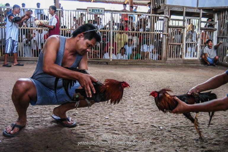 Avant le combat proprement dit, les coqs sont présentés l'un à l'autre, pour bien les exciter et les rendre agressifs. (Siquijor, Philippines, février 2008)