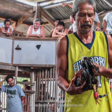 The roosters are armed with a curved blade attached to the paw, protected by a mini-sheath that is removed at the last moment for the fight. (Siquijor, Philippines, February 2008)