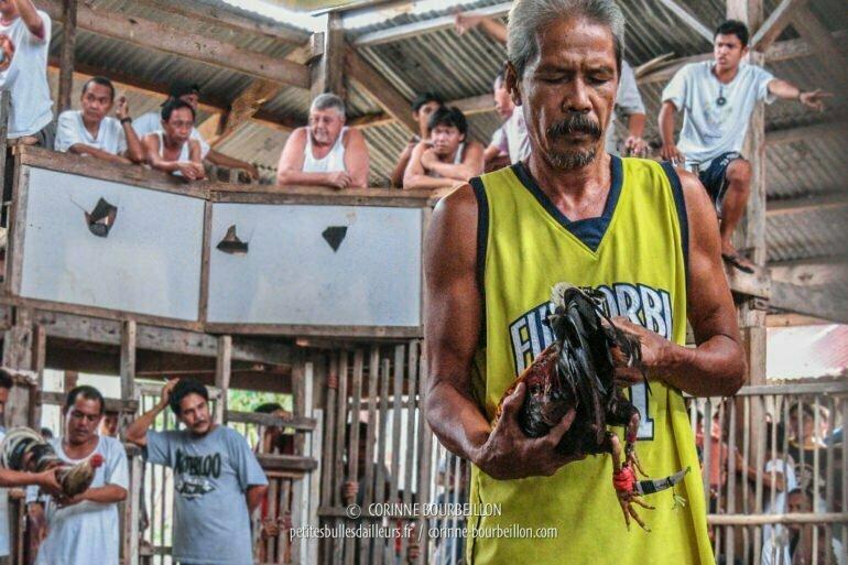 Les coqs sont armés d'une lame courbe fixée à la patte, protégée par un mini-fourreau qu'on retire au dernier moment pour le combat. (Siquijor, Philippines, février 2008)