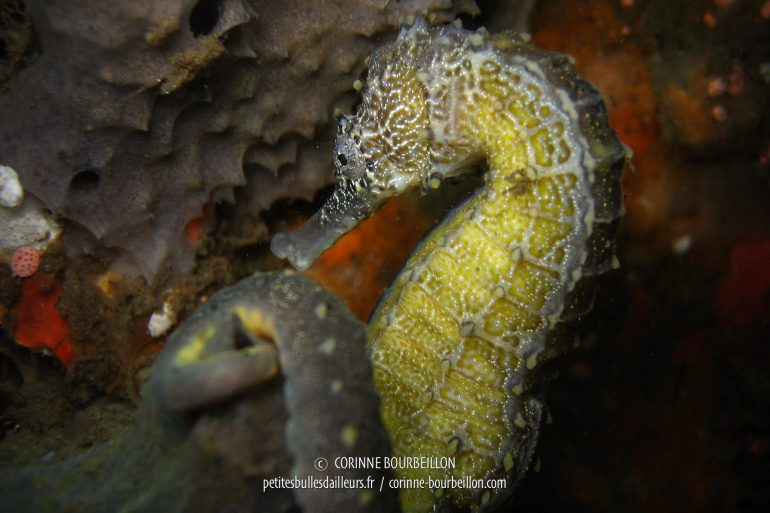 A seahorse of good size, found during a dive in Dauin. (Negros, Philippines, February 2008)