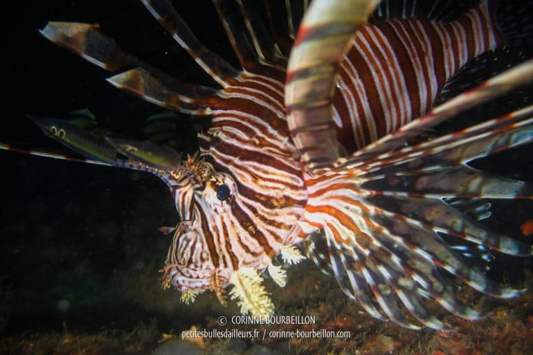 """Une rascasse volante, appelée """"lion-fish"""" (poisson-lion) en anglais. (Siquijor, Philippines, février 2008)"""