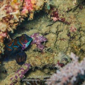 Le voilà, le mignon petit mandarin ! Il n'aime rien tant que se planquer sous le corail et juste montrer le bout de son nez, histoire de narguer les photographes... (Siquijor, Philippines, février 2008)