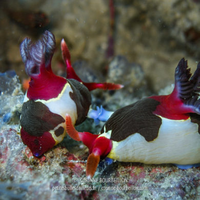 A couple of nudibranchs in action ... (Siquijor, Philippines, February 2008)
