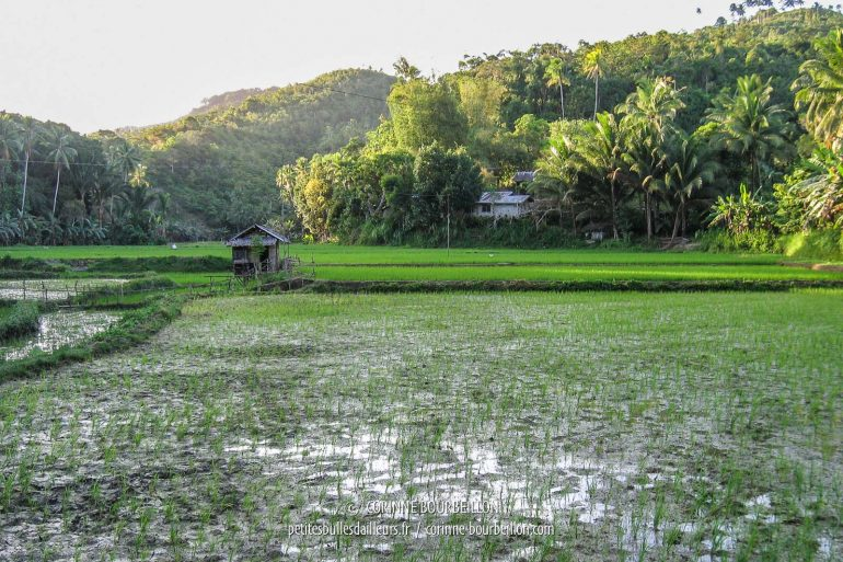 Along the road, between two mountains, the tender green young shoots of rice. (Siquijor, Philippines, February 2008)