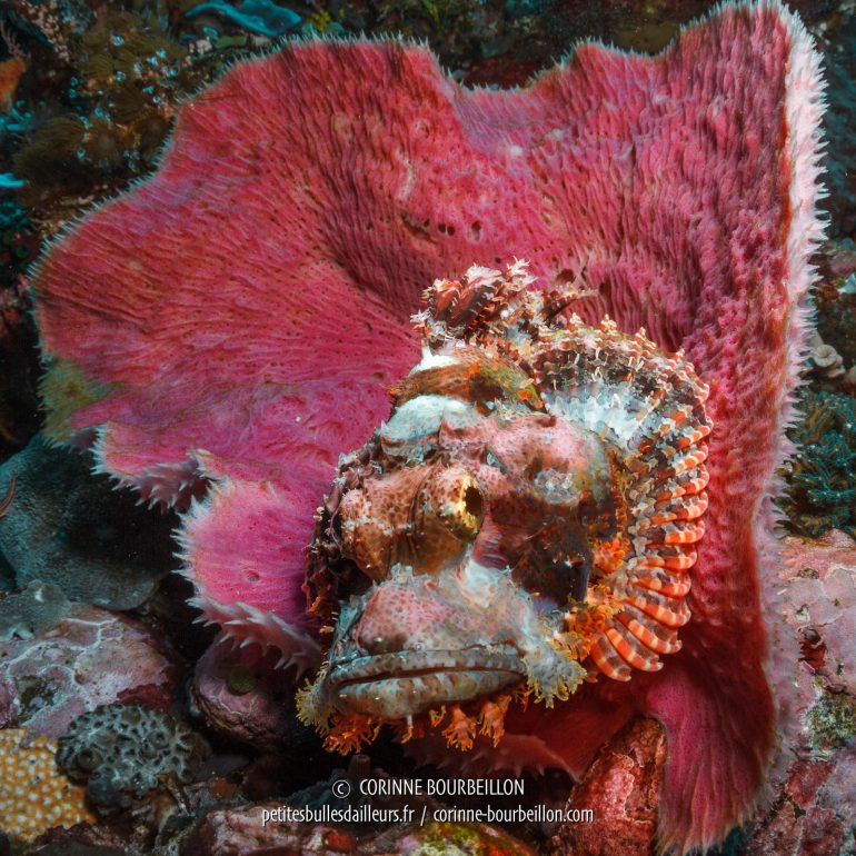 A scorpionfish poses in the pink corolla of a sponge. (Alor, Indonesia, July 2018)