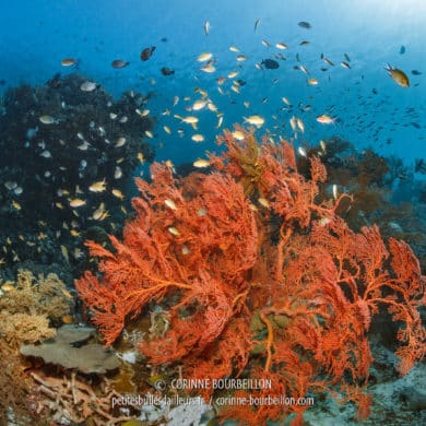"A magnificent gorgon ""overflown"" by a cloud of anthias. (Sali Kecil, Halmahera, Indonesia, July 2018)"