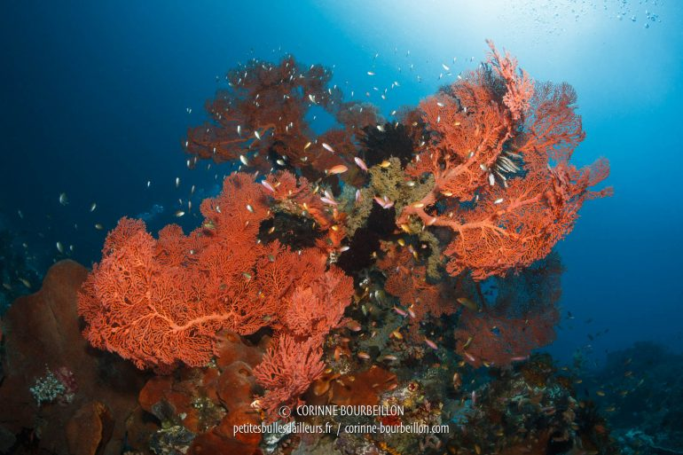 The white light of my flashes reveals the beautiful red orange of the sea fans. (Sali Kecil, Halmahera, Indonesia, July 2018)