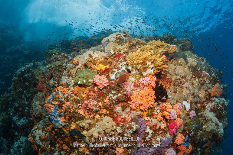 Le récif de Buffalo Rock, au large de Komodo et Gili Banta, est sompteux. (Indonésie, juillet 2018)