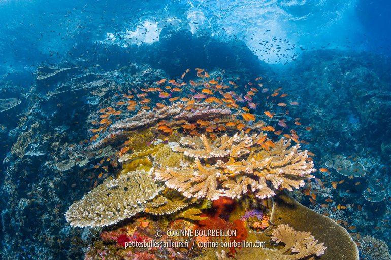 Le tombant de Buffalo Wall forme un paysage sous-marin spectaculaire. (Komodo Ouest, Indonésie, juillet 2018)