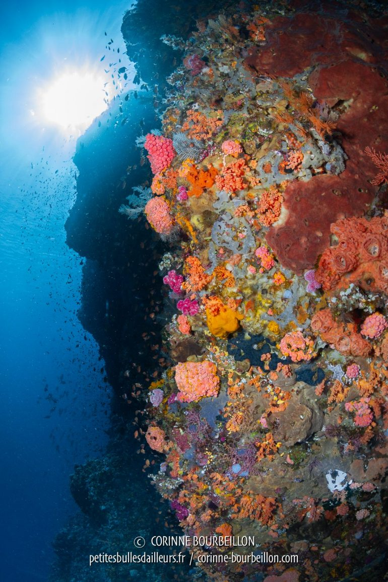 Dizzying drop-offs covered with colorful corals ... (Buffalo Wall, West Komodo, Indonesia, July 2018)