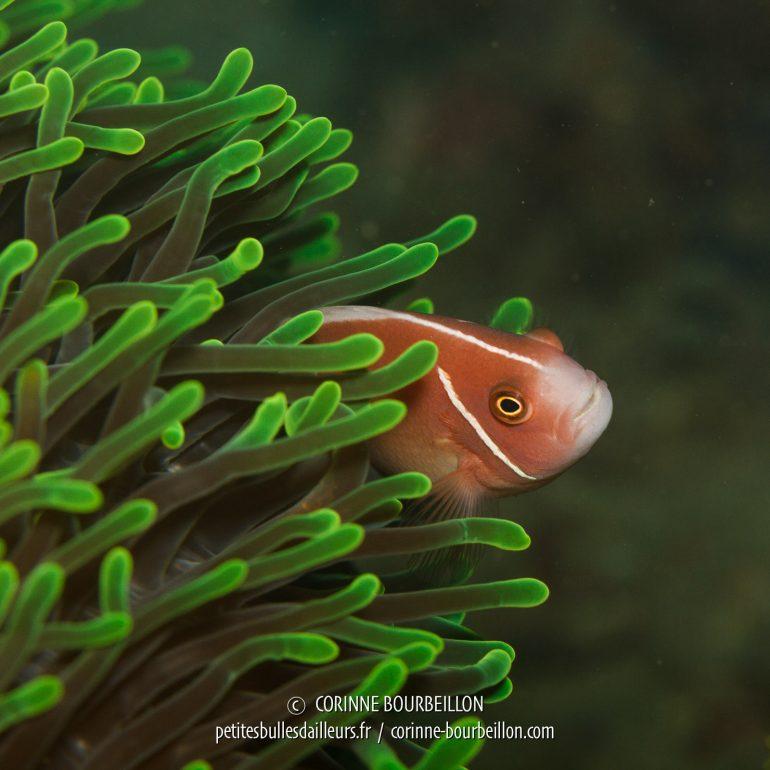 Un poisson-clown dans sa maison anémone. (Nudibranche. (Kalimaya House Reef, Sumbawa, Indonésie, juillet 2018)