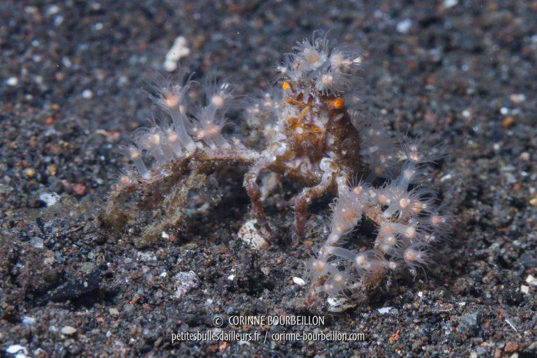 """Cette minuscule araignée de mer, comme d'autres crabes dits """"décorateurs"""" sait habilement se costumer pour tromper l'ennemi. (Bontoh, Sangeang, Indonésie, juillet 2018)"""