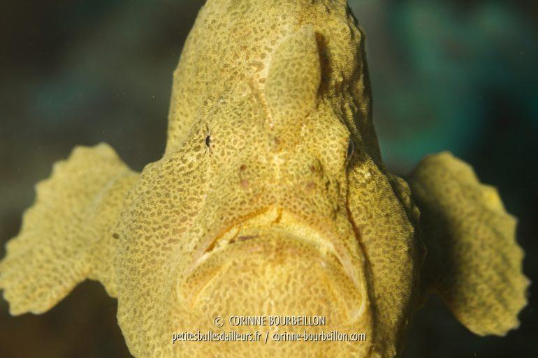 Vraiment une gueule patibulaire... (Kalimaya House Reef, Sumbawa, juillet 2018)