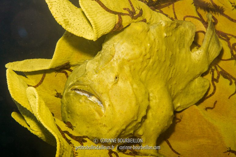 """Mon objectif macro n'est pas adapté à la taille de cet imposant poisson-grenouille jaune, juché sur une éponge """"oreille d'éléphant""""... Je suis obligée de prendre énormément de recul pour l'avoir en entier dans l'objectif. (Kalimaya House Reef, Sumbawa, juillet 2018)"""