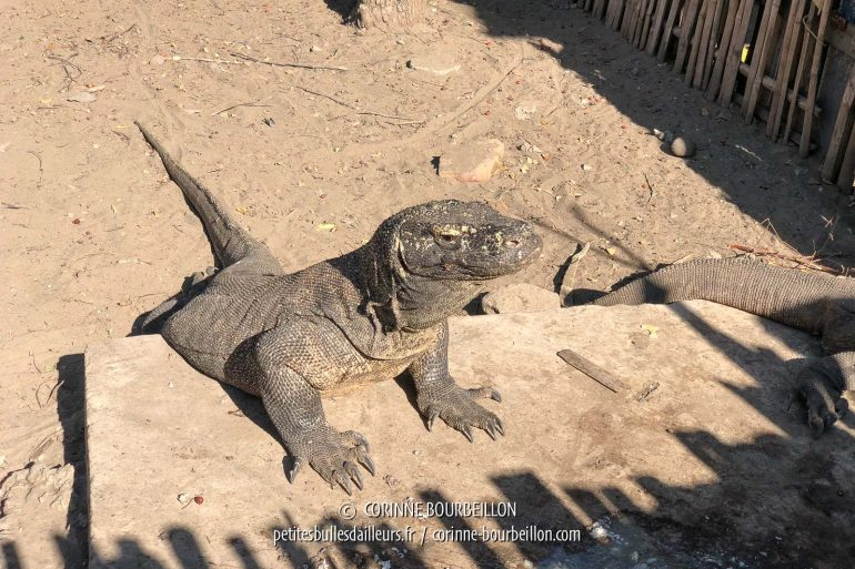 In Komodo, we will only see a few dragons, apparently accustomed to lapping near the ranger barracks. (Indonesia, July 2018)